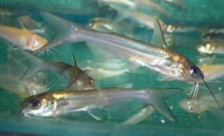 Catfish, Live Koi Pond Fish for aquarium or fish tank  free ship