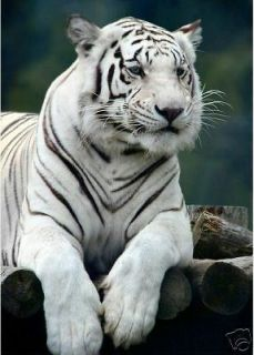 24x36 Handicrafts Large Art Oil Painting On Canvas White Tiger