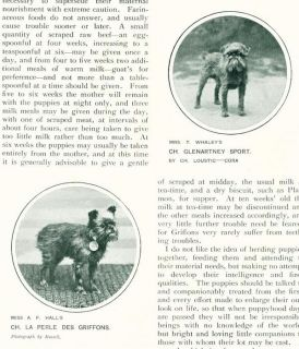 Antique Breed Article w Pics 1907 Brussels Griffon Dogs