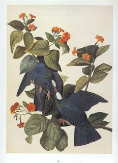 John James Audubon Bird Print White Crowned Pigeon